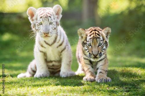 white and red tiger cubs outdoors Wallpaper Mural