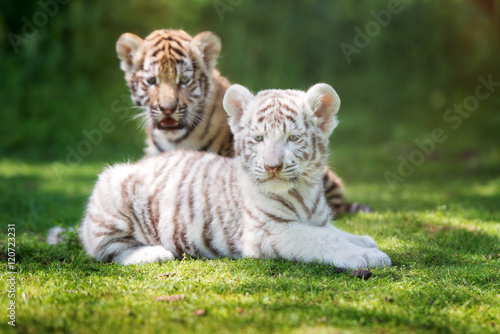 two adorable tiger cubs outdoors Tapéta, Fotótapéta