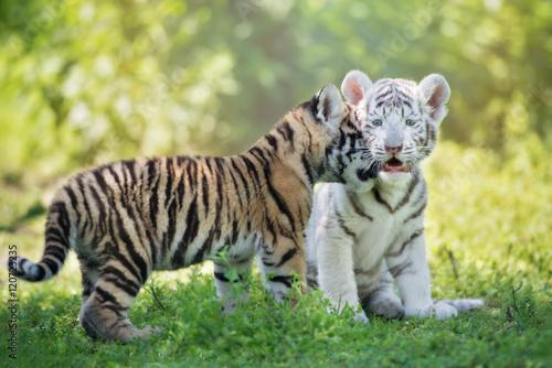 Carta da parati adorable affectionate tiger cubs outdoors