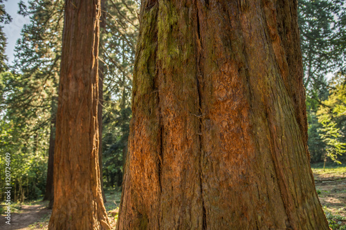 Poster Parc Naturel Giant sequoias with large diameter.