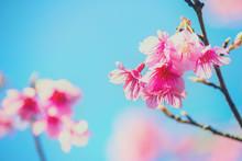 Cherry Blossoms On Blue Sky Background,Prunus Cerasoides On Blue Sky Background, Wild Himalayan Cherry In Thailand On Blue Sky Background ,Pink Flowers On Blue Sky Background, Selective Focus
