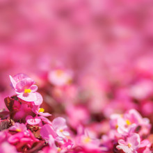 Floral Background Pink Begonias With A Blurred Background Close-