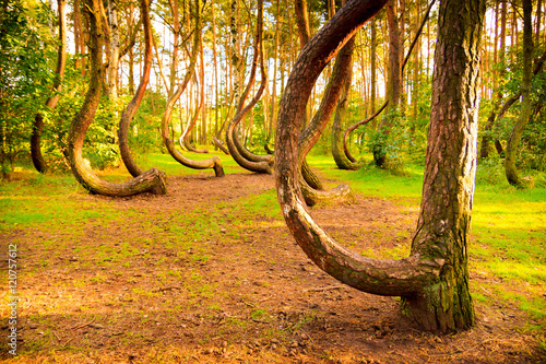 Fotografia, Obraz  Curved forest reserve in Poland