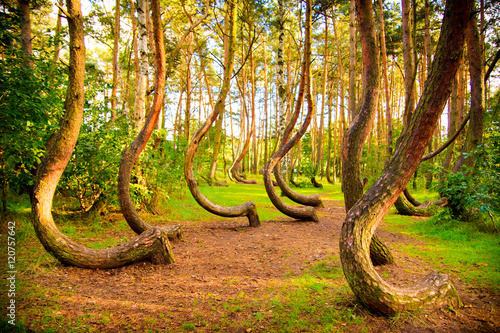Obraz Curved forest reserve in Poland - fototapety do salonu