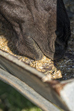 Detail Of A Horse Eating Grain