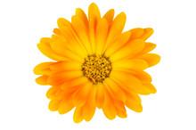 Isolated Calendula Flower