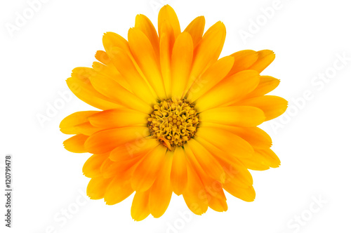 isolated calendula flower