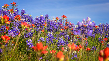 Wildflowers In Texas Hill Country - Bluebonnet And Indian Paintb