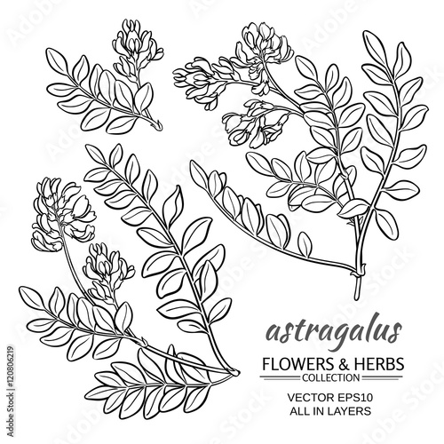 astragalus vector set Canvas Print