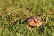 Breitrandschildkröte, Testudo marginata, beim Fressen