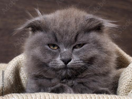 Fotografie, Obraz  Sleepy, annoyed, awake cat gets out of the plaid