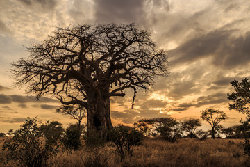 Fototapeta na wymiar Baobab Tree at Sunset, Tanzania
