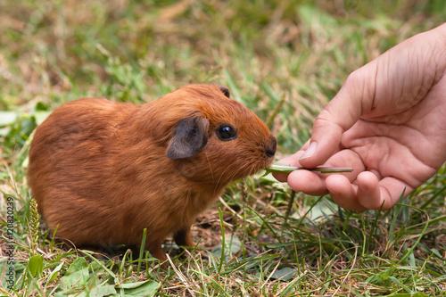 Fotografía  hand feeding guinea pig