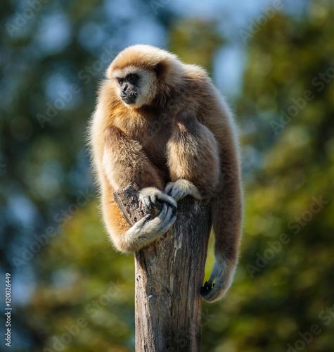 Canvastavla Gibbon monkey