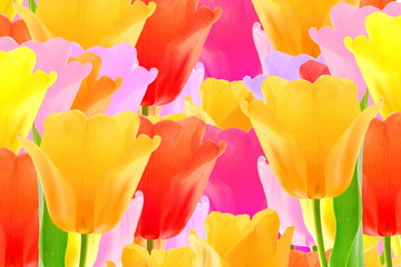 Panel Szklany Podświetlane Tulipany colorful spring tulip flower as background