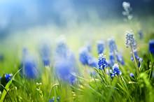 Closeup Blue Spring Flowers  And Fresh Green Grass. Natural Summer Background