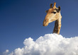 Tall Giraffe