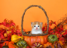 Small Orange And White Tabby Kitten Sitting In A Pumpkin Basket Surrounded By Autumn Leaves, Gourds And Squash. Fun Festive Scene To Celebrate Autumn And The Season Of Thanksgiving. Copy Space