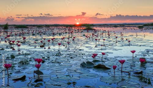 Photo  The sea of red lotus, Lake Nong Harn, Udon Thani, Thailand