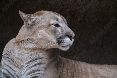 portrait a puma against stone texture