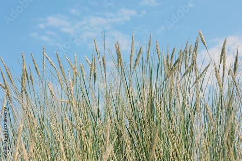 Keuken foto achterwand Noordzee Strandhafer und Dünengras im Sommer