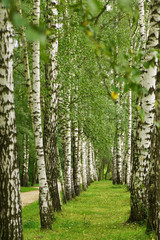 Panel Szklany Skandynawski Birch alley in summer