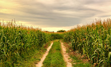 Cornfield In The Summer Landsc...