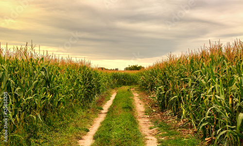 Vászonkép Cornfield in the summer landscape with road