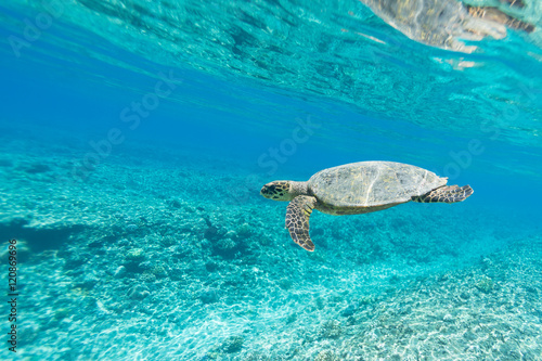Fotografie, Obraz  Sea Turtle (Hawksbill Turtle - Eretmochelys imbricata) swims in turquoise blue water of Indian ocean, Maldives