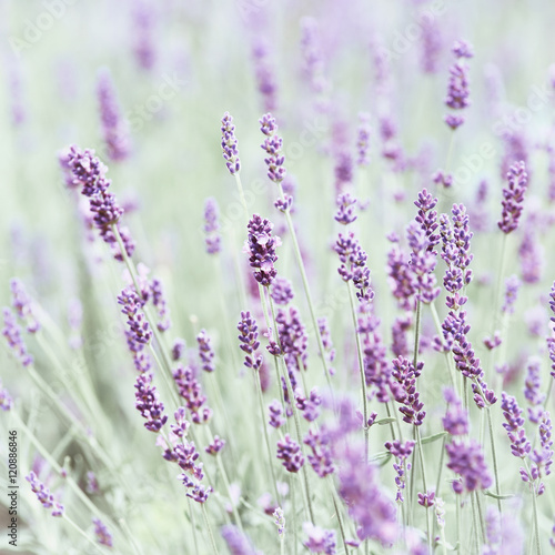Fototapety, obrazy: Field of Lavender (close up)