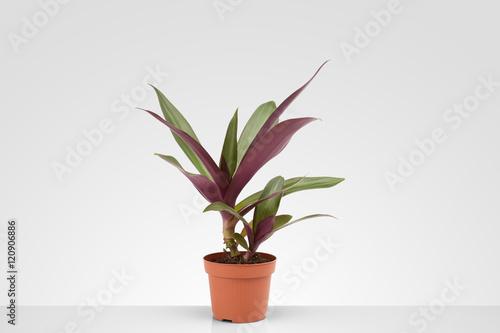 Papiers peints Vegetal houseplant on a gray background, living flower for interior decoration