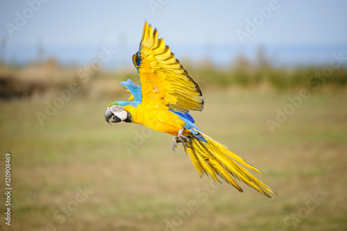 Photo sur Toile Perroquets Flying blue-and-yellow Macaw - Ara ararauna