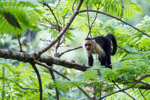 white faced or capuchin monkey Fototapet