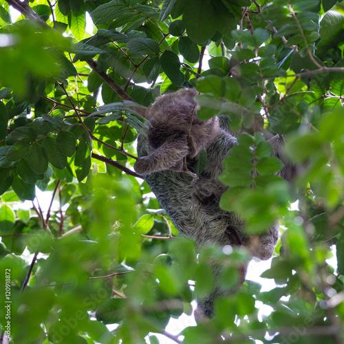 Canvas Prints Koala three toed sloth in Costa Rica