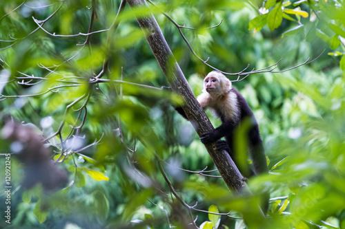 white faced or capuchin monkey Canvas Print