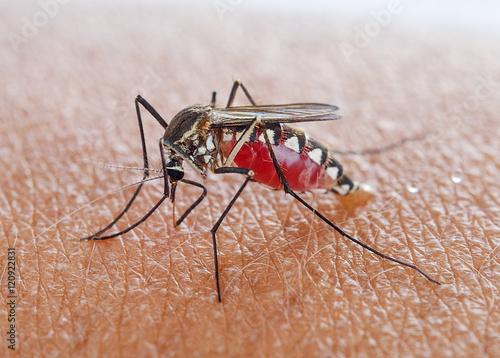 Mosquito sucking blood Wallpaper Mural