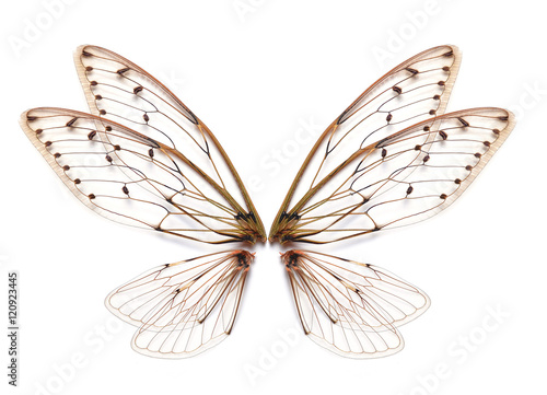 Insect cicada wing  isolated on white background