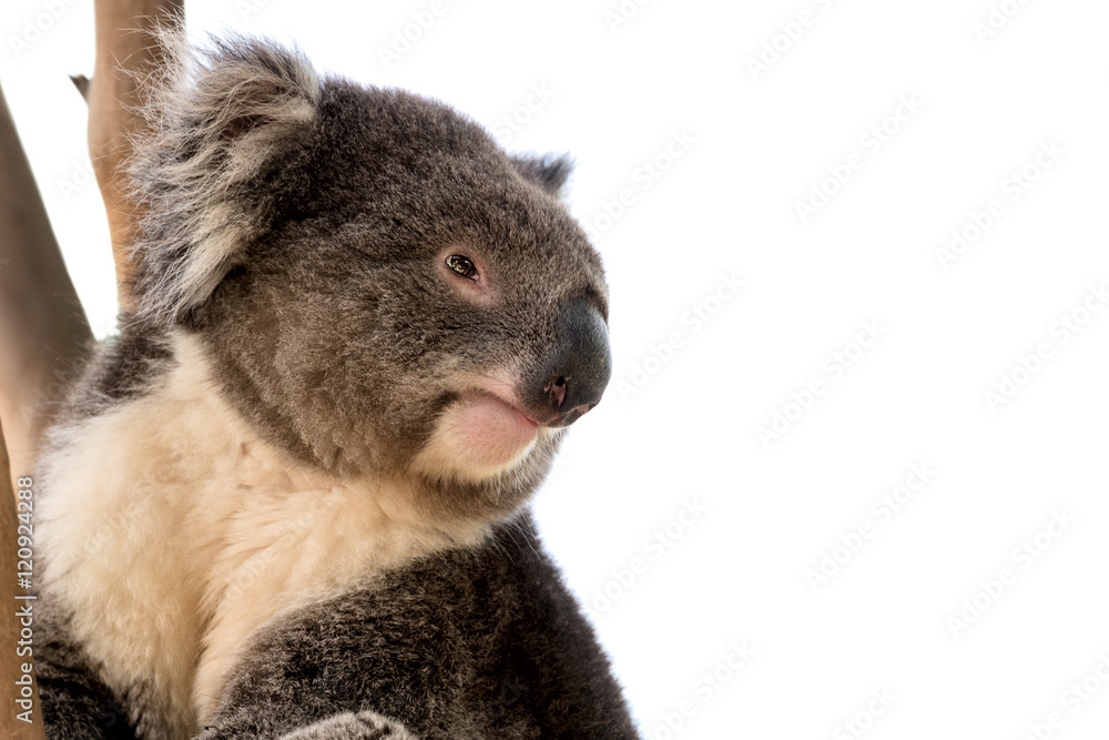 Australian koala close up isolated