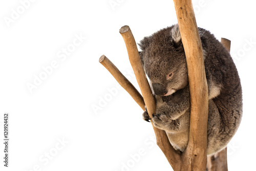 Foto op Canvas Koala Australian koala on the tree isolated