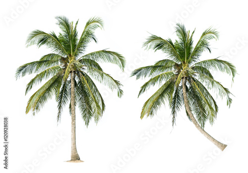 Poster Palmier coconut palm trees