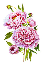 Fototapeta Romantyczny watercolor flower peony pink green leaves decorative vintage illustration isolated on white background