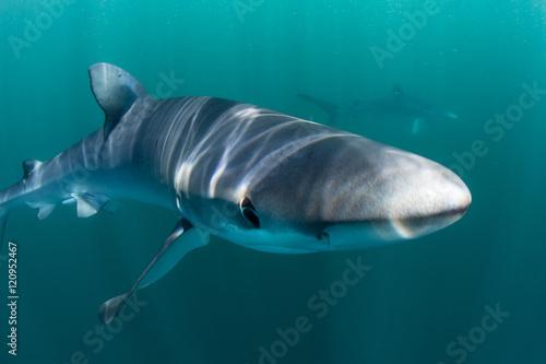 Fototapety, obrazy: Blue Shark Underwater