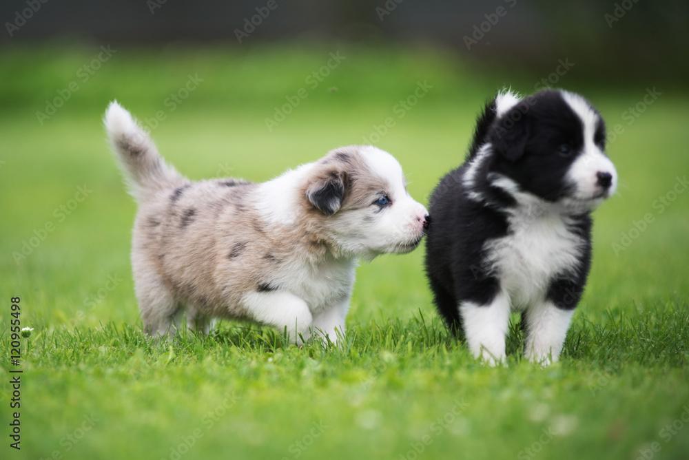 Fototapety, obrazy: Border collie puppy