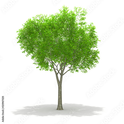 Fotografija  Tree isolated on a white background 3d