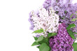 Lilac blossom isolated on white background with empty space for