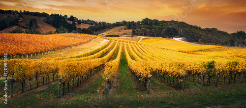 Photo sur Aluminium Vignoble Golden Morning Vineyard