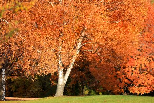 Foto op Canvas Baksteen Bright orange leaves in autumn tree