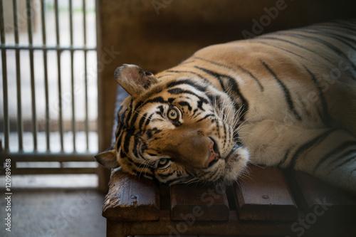 Foto auf AluDibond Tiger tiger in a zoo cage