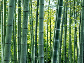 Fototapeta Bambus 竹 夏の風景