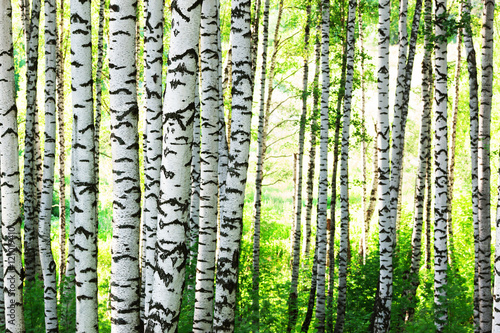 summer in birch forest